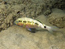 Colored Goatfish in marsa alam. A colored goatfish standing in the sand of red sea coral reef Royalty Free Stock Photos