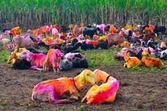 Colored goats resting in the morning. Kolhapur. Maharashtra Stock Photo
