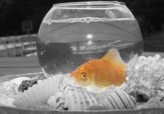 Colored goldfish in black in white bowl stock photos