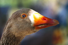 Colored goose drake head portrait Royalty Free Stock Photos