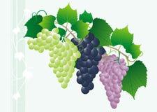 Colored grape Stock Photo
