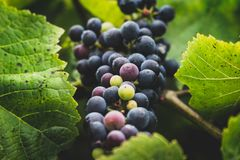 COLORED GRAPE BUNCH. Multi-colored ripening grape bunch Royalty Free Stock Images