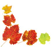 Colored grape leaves stock image