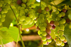 Colored grapes. Grapes ripening in the grapevine Royalty Free Stock Photo