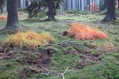 Colored grass in the autumn coniferous forest Stock Photo