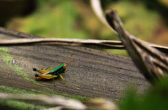 Colored grasshopper in tropical forest Royalty Free Stock Photo
