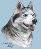 Colored hand drawing vector portrait of siberian husky. Vector colored portrait of siberian husky hand drawing Illustration on blue background Stock Images