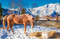 The colored horse and the winter stock photo