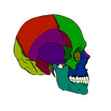 Colored human skull with a lower jaw. Royalty Free Stock Photo