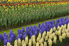 Colored hyacinth in spring Royalty Free Stock Image