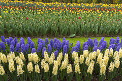 Colored hyacinth in spring Stock Photography