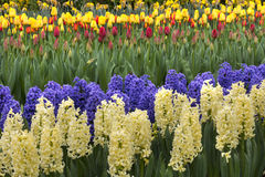 Colored hyacinth in spring Stock Photo