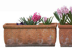 Colored hyacinths in ornamental vases Royalty Free Stock Images