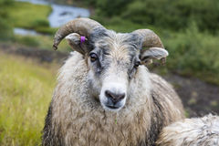 Colored Icelandic sheep on a green meadow, Iceland Stock Image