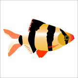 Colored icon of aquarium saltwater fish Barbus on a white backgr Royalty Free Stock Image