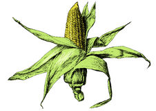Colored illustration with corn. Royalty Free Stock Images