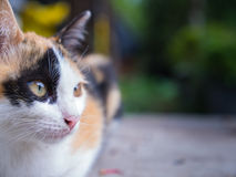 3 Colored Kitten crouching Stock Photo