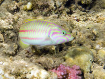 Colored Klunzinger's Wrasse Stock Photos
