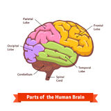 Colored and labeled human brain diagram Royalty Free Stock Photos