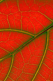 Colored leaf of Ficus Lyrata Stock Photo