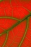 Colored leaf of Ficus Lyrata Stock Photo