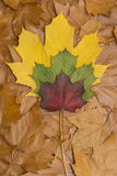 Colored leafs on brown leaves Royalty Free Stock Images