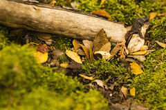 Colored leafs and stick on moss ground Royalty Free Stock Image