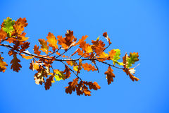 Colored leafs on tree. At a blue sky background Royalty Free Stock Photo