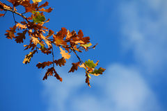 Colored leafs on tree. At a blue clouded sky background royalty free stock photos