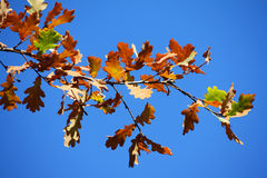 Colored leafs on tree. At a blue sky background Royalty Free Stock Images