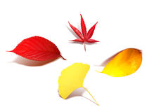 Colored leaves Royalty Free Stock Images