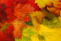 Colored leaves. Background with colored fall leaves Stock Photo