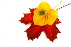 Colored leaves. Colored fall leaves on isolated white background Stock Photography
