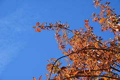 Colored leaves against a brilliant sky Stock Photo