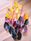 Colored leaves. Autumn royalty free stock image