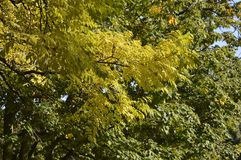 Colored leaves. Autumn colored leaves hanging on tree royalty free stock photos