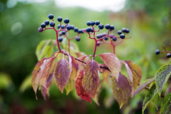 Colored Leaves and Berries Royalty Free Stock Photo