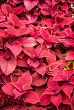 Colored leaves of Coleus Stock Photo