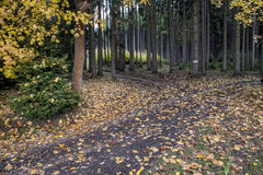 Colored leaves falling on a forest path Stock Image