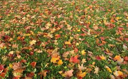 Colored leaves in the grass. Colored maple leaves in the grass, beautiful background royalty free stock images