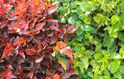 Colored leaves Royalty Free Stock Image