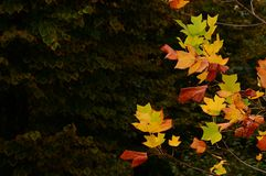 The colorful autumn. colored leaves on tree in october. Colored leaves on tree in october stock image