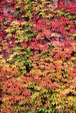 Colored leaves of the wild vine in autumn Royalty Free Stock Photography