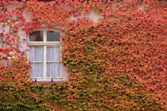 Colored leaves of the wild vine on house wall Royalty Free Stock Photography