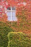 Colored leaves of the wild vine on house wall Royalty Free Stock Images
