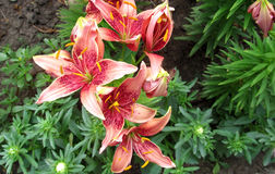 Colored lily in garden. Colored lily in botanical  garden Stock Photo