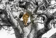 Colored Lion in a Black and White Tree Stock Photos