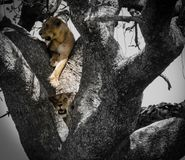 Colored Lion in a Black and White Tree. In the wild on safari in Africa stock image