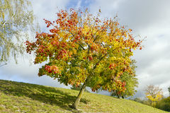 Colored lonely autunm maple tree Royalty Free Stock Photography