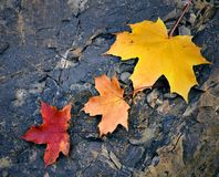 Colored maple leaf on stone Royalty Free Stock Photos